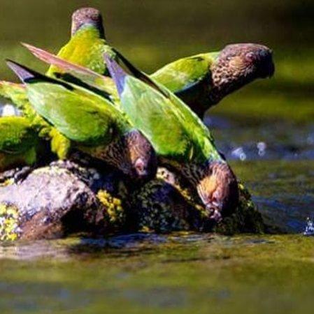 Novo Progresso, PA: Tiriba do madeira - Madeira Parakeet (Pyrrhura snethlageae)