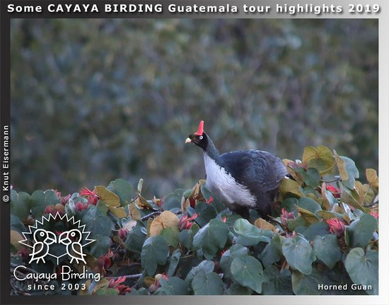 CAYAYA BIRDING tour highlights 2019: Horned Guan in the highlands of Guatemala.
