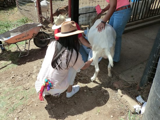 Milking a goat.