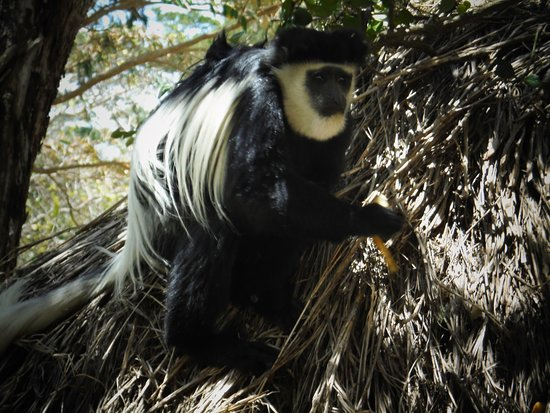Colobus Monkey in the Mount Kenya Region
