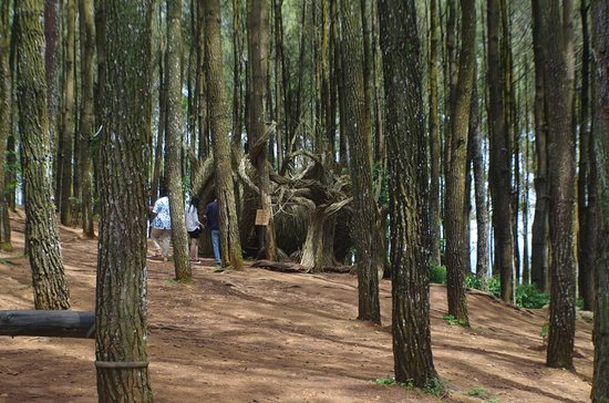 Pengger Pine Forest