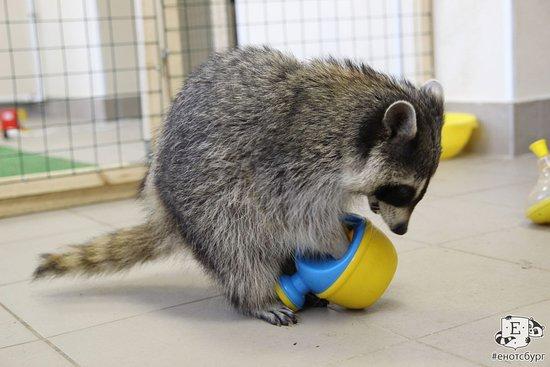 Еще одна игрушка в руках енота Заи