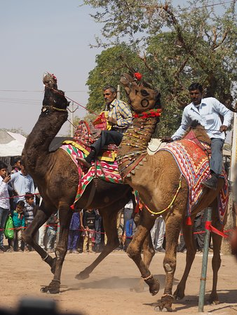 Smart India Tours: Camel race, cattle fair, Nagaur