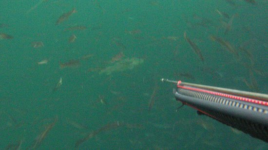 Funen and Islands, Danska: Spear fishing