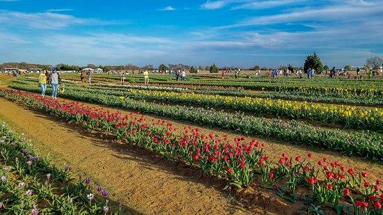 Texas Tulips: Beautiful!