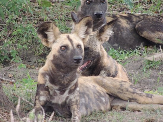 African Pangolin Safaris: .