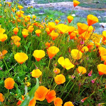 Thanks to wet winter, the fields of golden poppies are blooming in Walker Canyon of Lake Elsinore. Great place for hiking and photography.