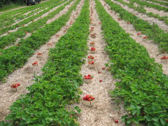 Tusket, Canada: Strawberries