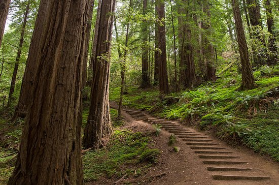 Muir Woods, Giant Redwoods, and...