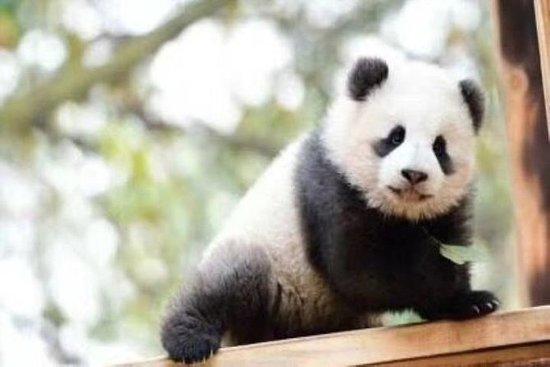 En dagstur til Chengdu Panda Base og...