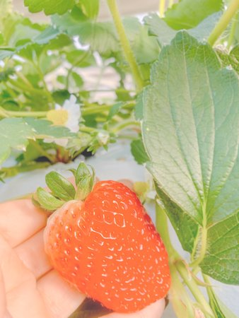 Strawberry Farm Yoichiro Farm