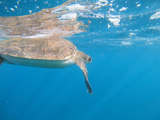 Tenerife snorkelling and kayaking: Swimming with a Green Sea Turtle in Tenerife.