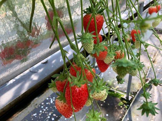 Strawberry Land Nakanishi
