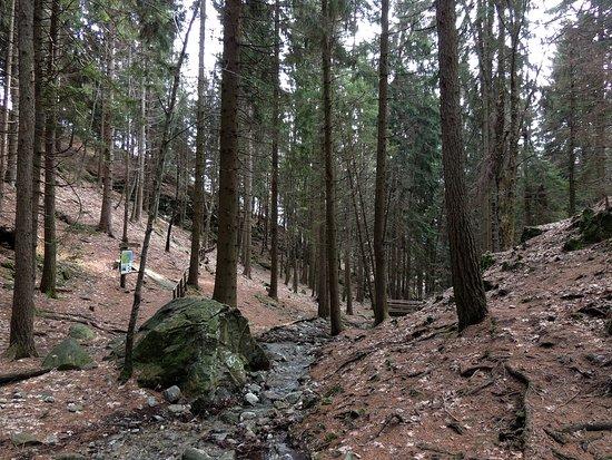 Civenna, Italia: Bosco di conifere