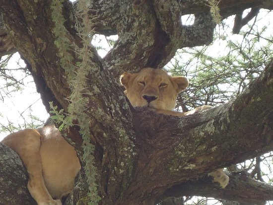 Kilimanjaro & Safaris: Amazing to see lions in trees!
