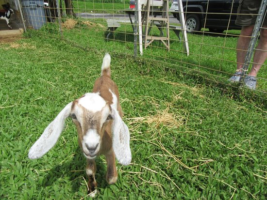 Honomu, HI: They tried to convince me I could take my little friend home on the plane as a Therapy Goat. I wish!!!!
