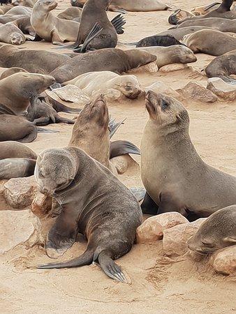 Erongo Region, นามิเบีย: Cape Fur Seals