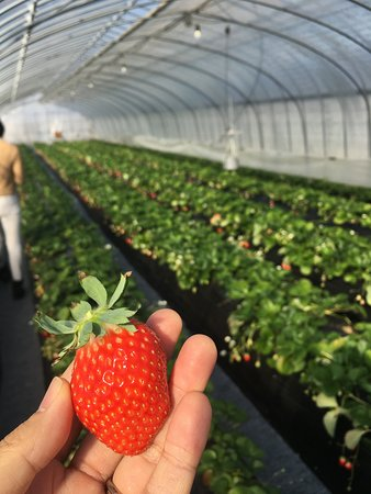 Mibu Strawberry Farm