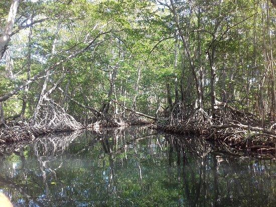 Ocumare de la Costa, Venezuela: Los manglares Como en muchos lugares de las costas de Venezuela, en La Ciénaga se encuentran 4 especies de manglares, Mangle amarillo, blanco, colorado y negro. Estos manglares se pueden apreciar muy bien, gracias a la claridad del agua. El reflejo de los mangles en el agua nos da la sensación de un espejo. También se pueden apreciar cardúmenes de pequeños peces que se alimentan del ecosistema de los mangles.