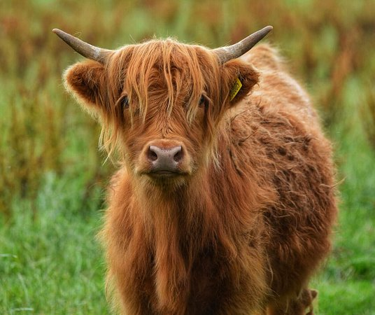 Blackwaterfoot, UK: Our Highland calves