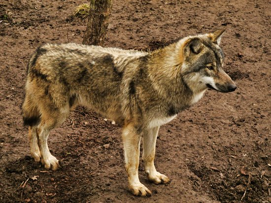 Bradford-on-Avon, UK: Ragnar, the European wolf at, The Little Zoo.