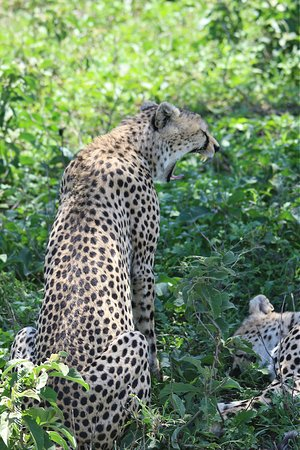 Tanzania Safari - The Great Migration in the North of the Serengeti and Lake Natron: Guepard