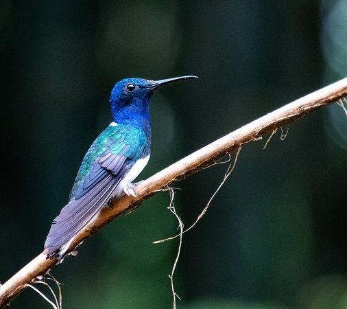 San Jorge de Milpe Eco-Lodge Orchid & Bird Reserve: White-necked Jacobin Hummingbird