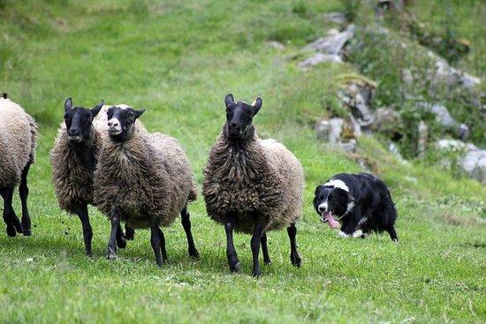 Dogshow - Besök en riktig bergsgård ...