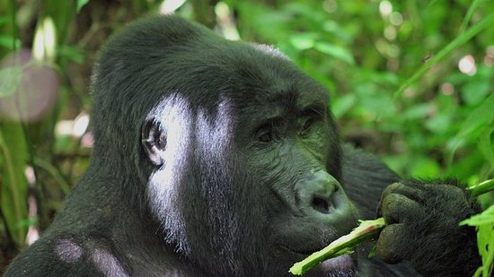 3 días Bwindi Gorilla Safari