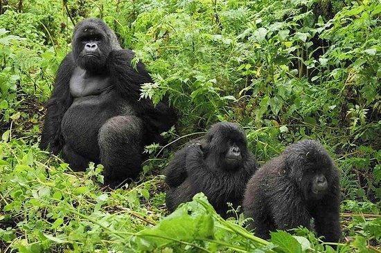 6 días inolvidables de gorila safari