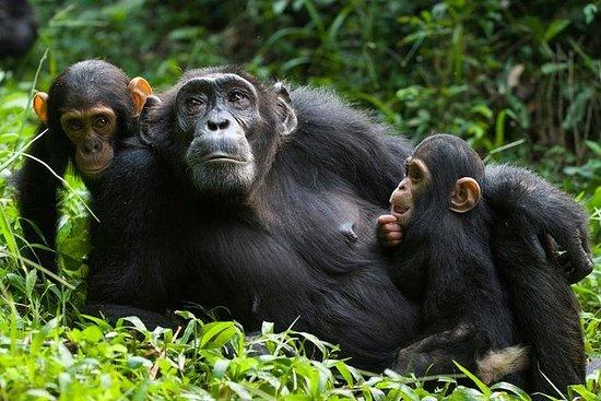 2-dagers sjimpanse sporing og...