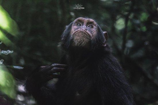 Crater Safari Lodge Kibale: Chimpanzee Habituation Experience Kibale, a 15 minute drive from Crater Safari Lodge.