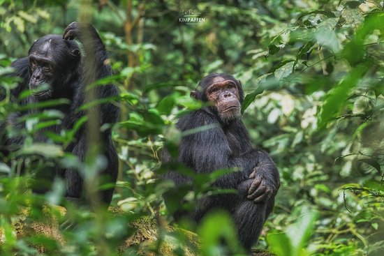 Crater Safari Lodge Kibale : Chimpanzee Habituation Experience Kibale, a 15 minute drive from Crater Safari Lodge.