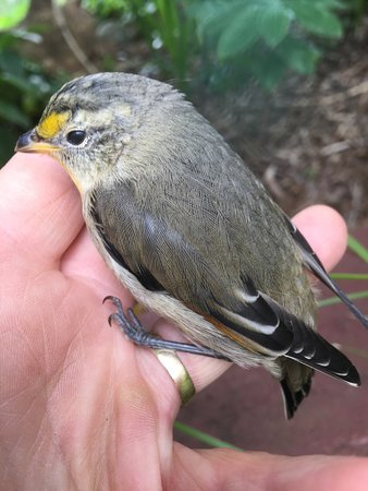 Tarleton, Australia: A Striated Pardalote, one of the many birds found in the garden here at Asimatree.