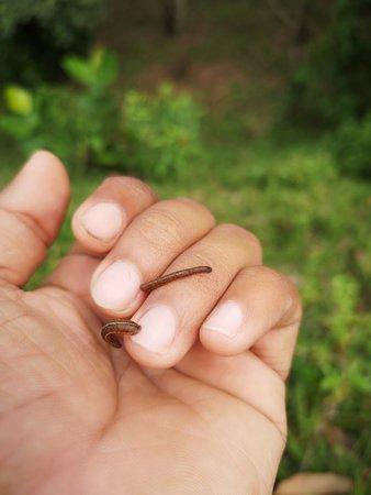 Pitigala, Sri Lanka: Srilankan  leeches ,no harm,