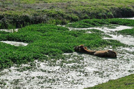 Trikala Region, Greece: A cow inside a river, enjoying her lunch!