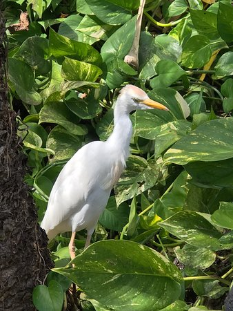 Grand Hyatt Kauai Resort & Spa: Egrets and beautiful foliage on the grounds