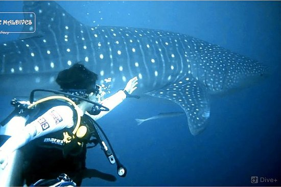 Whale Shark Diving - half or full day...