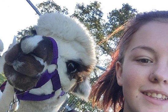 Alpaca Walking Experiences