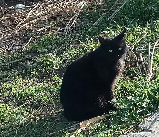 """Abruzzen, Italien: Cartoline dall' Abruzzo : il gatto. In dialetto """"  la hatt """"  il femminile   comprende i due  generi . Non esiste il gatto abruzzese  come razza ,esso è tale per ius soli."""