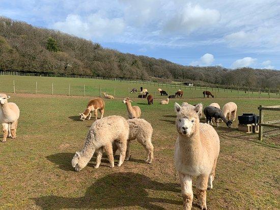 Stoke Wood Alpacas