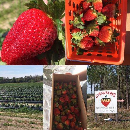 The Strawberry Farm