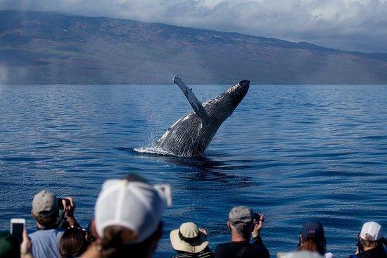 从拉海纳港看鲸鱼