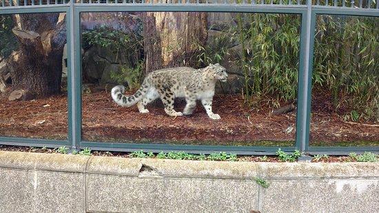 Menagerie, le zoo du Jardin des Plantes: Panthère des neiges--au Jardin des Plantes à Paris