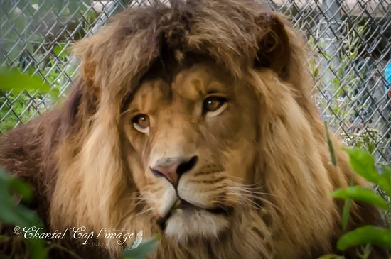 Saint-David-de-Falardeau, Canada: Maximus, lion d'Afrique