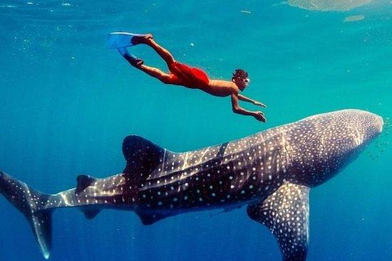 Oslob Whale Watching - Cebu Tour...
