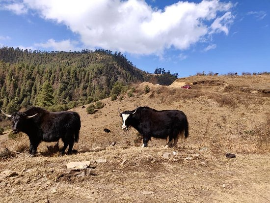 Wangdue Phodrang District, Bhutan: Yaks in Phobjikha Valley
