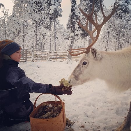 Our daughter feeding one of our reindeer with lichen. This beautiful reindeer is two year old male.