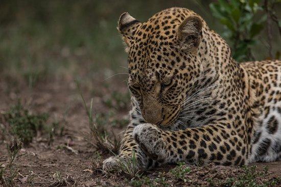 With the Leopard on Safari - Serengeti - Features Africa Journeys. Kenya Tanzania Safari
