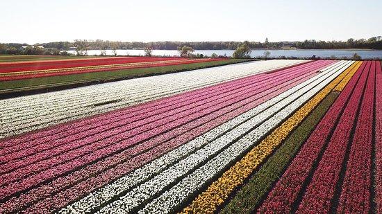 Tripadvisor - great way to experience the tulips fields up close! - תמונה של Renzy.nl, ליסה